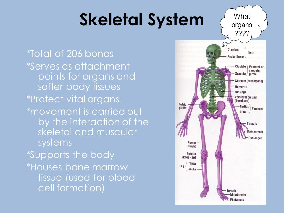 *Total of 206 bones *Serves as attachment points for organs and softer body tissues *Protect vital organs *movement is carried out by the interaction of the skeletal and muscular systems *Supports the body *Houses bone marrow tissue (used for blood cell formation) What organs ????