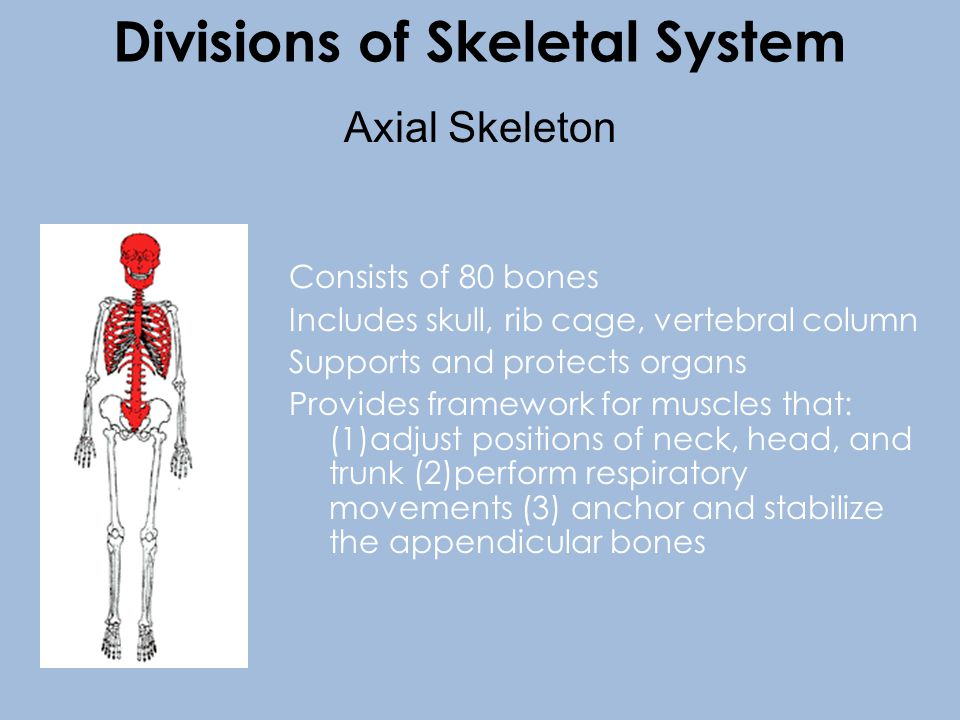 Consists of 80 bones Includes skull, rib cage, vertebral column Supports and protects organs Provides framework for muscles that: (1)adjust positions of neck, head, and trunk (2)perform respiratory movements (3) anchor and stabilize the appendicular bones Axial Skeleton