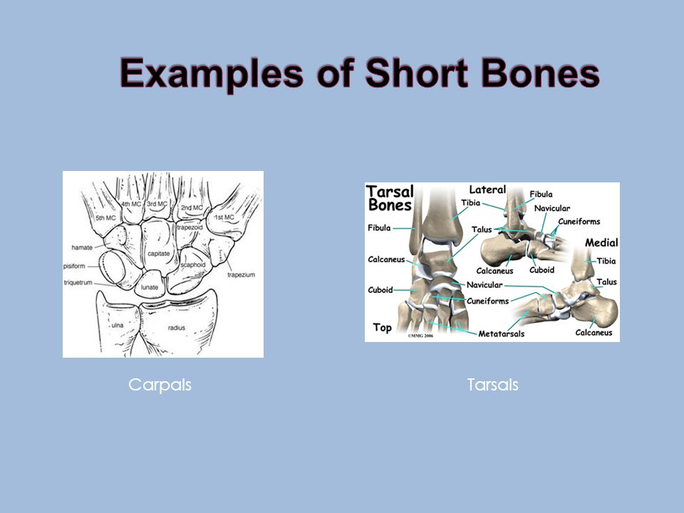 Short Bones *approximately as wide as they are long *primary function of providing support and stability with little movement *consist of only a thin