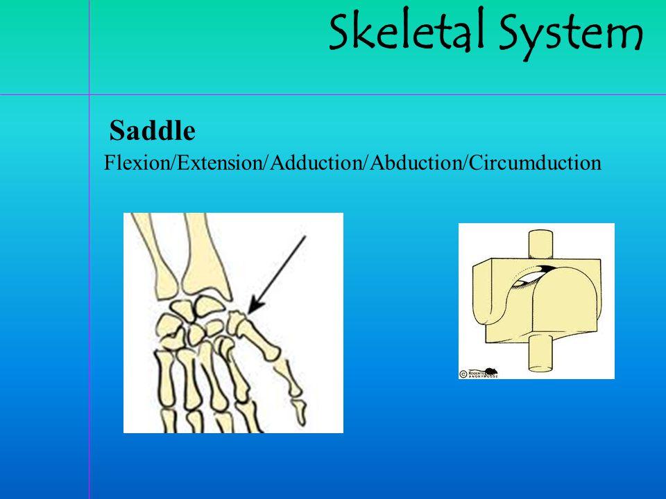 Skeletal System Saddle Flexion/Extension/Adduction/Abduction/Circumduction
