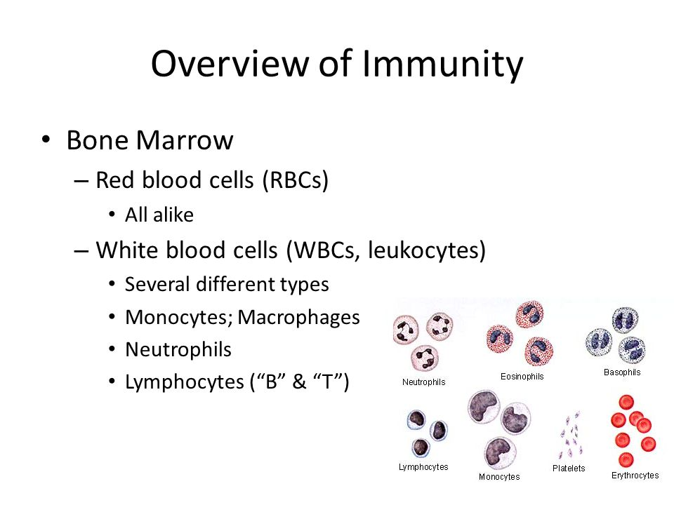 Overview of Immunity Bone Marrow – Red blood cells (RBCs) All alike – White blood cells (WBCs, leukocytes) Several different types Monocytes; Macropha