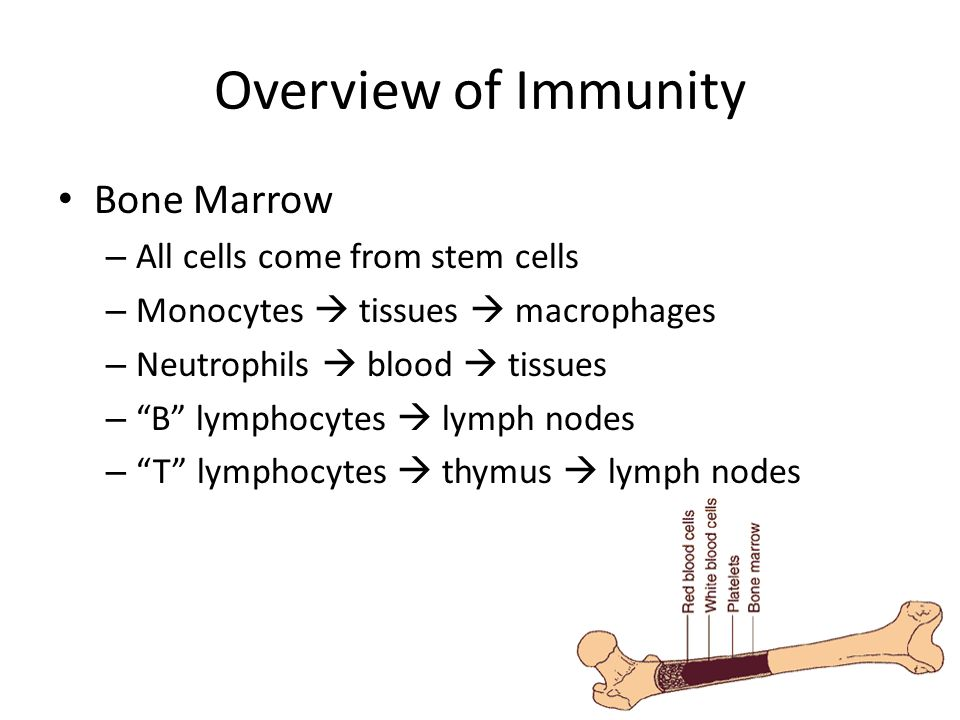 "Overview of Immunity Bone Marrow – All cells come from stem cells – Monocytes  tissues  macrophages – Neutrophils  blood  tissues – ""B"" lymphocyte"