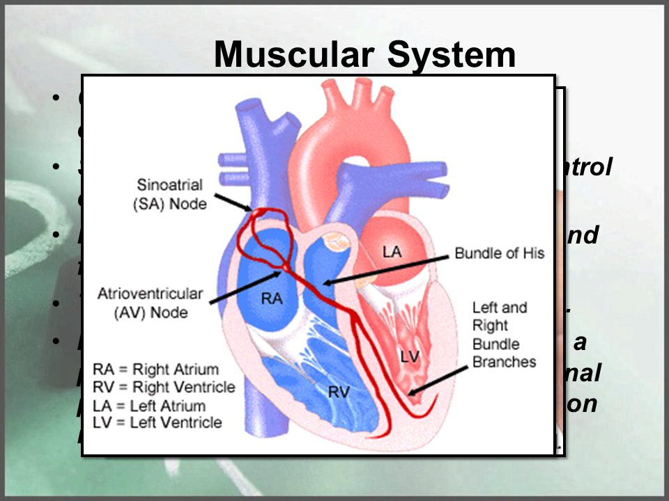 Muscular System Cardiac muscle – is somewhat a combination of smooth & skeletal. Smooth because the person has no control over them. Like skeletal bec