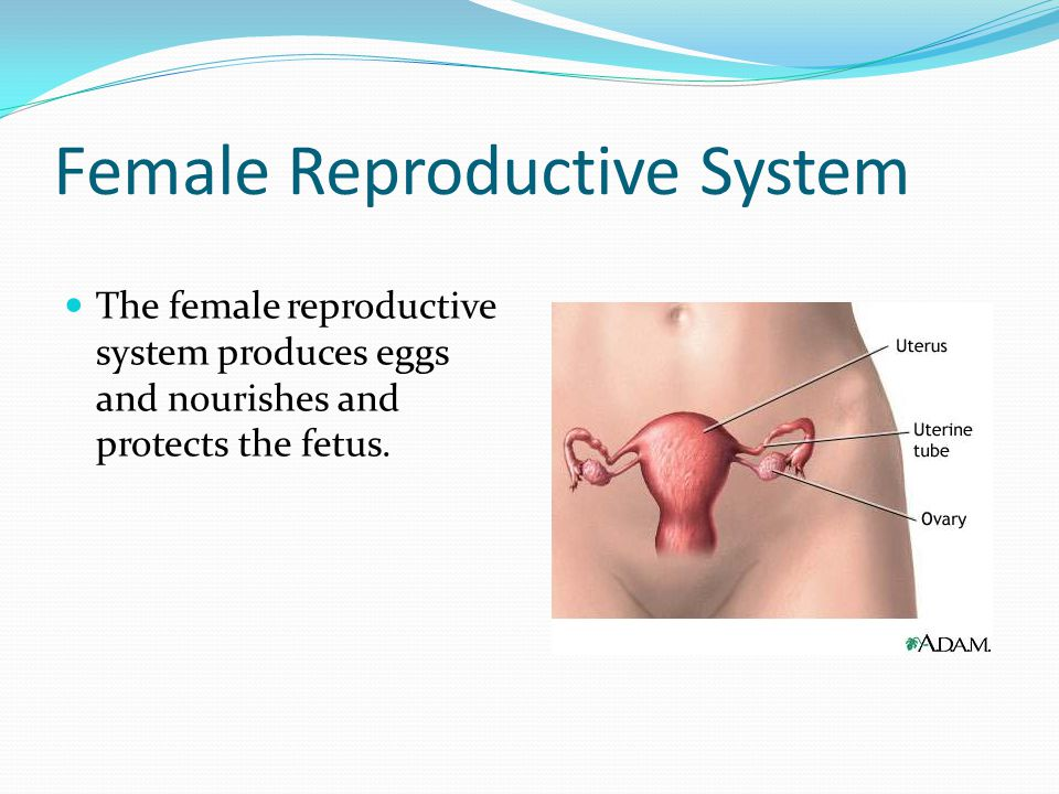 Female Reproductive System The female reproductive system produces eggs and nourishes and protects the fetus.