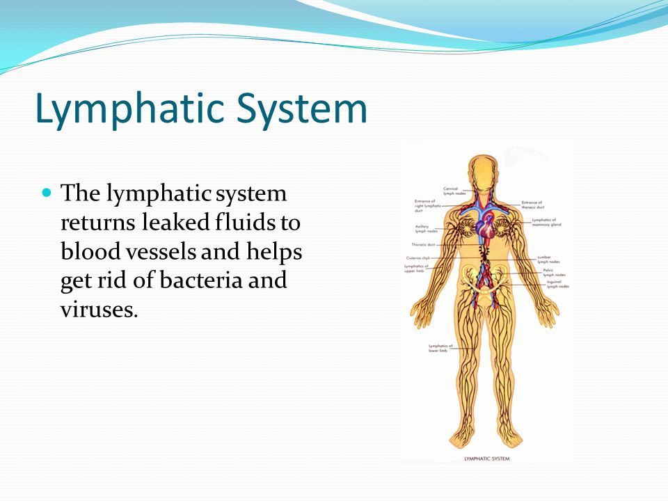Lymphatic System The lymphatic system returns leaked fluids to blood vessels and helps get rid of bacteria and viruses.