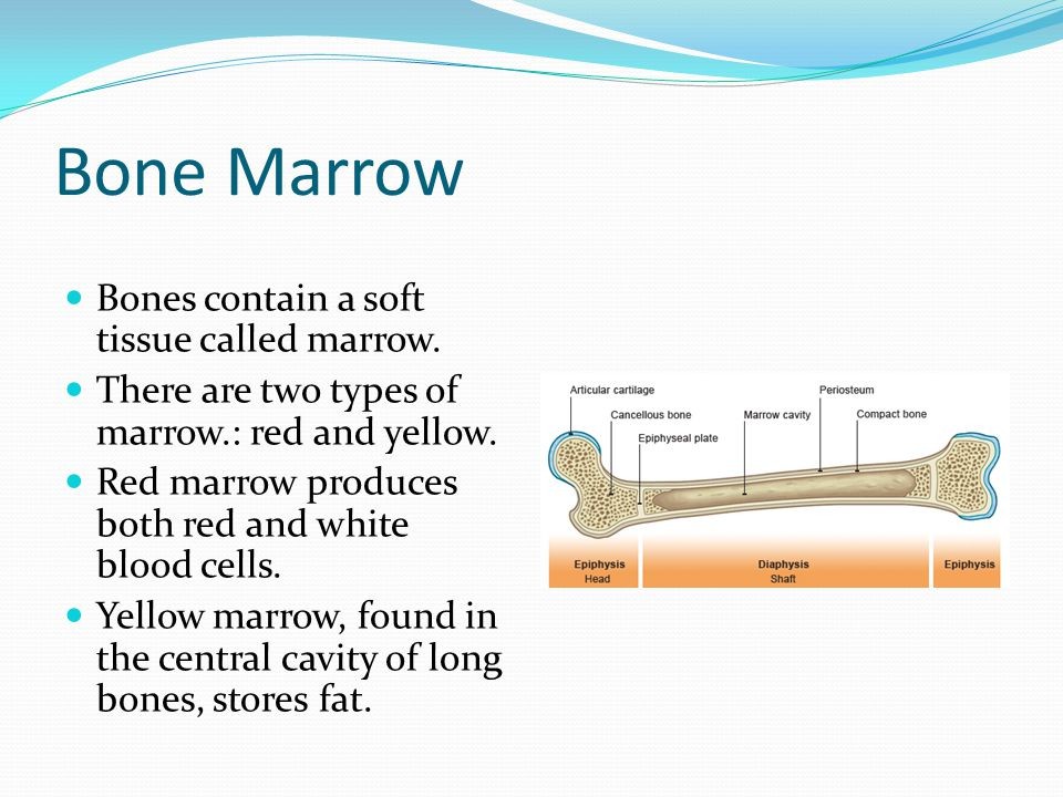 Bone Marrow Bones contain a soft tissue called marrow. There are two types of marrow.: red and yellow. Red marrow produces both red and white blood ce
