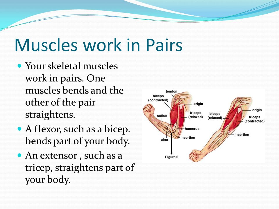 Muscles work in Pairs Your skeletal muscles work in pairs. One muscles bends and the other of the pair straightens. A flexor, such as a bicep. bends p