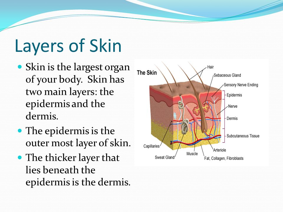 Layers of Skin Skin is the largest organ of your body. Skin has two main layers: the epidermis and the dermis. The epidermis is the outer most layer o