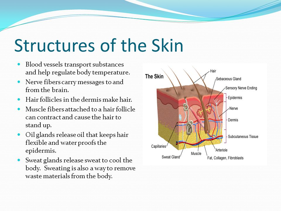 Structures of the Skin Blood vessels transport substances and help regulate body temperature. Nerve fibers carry messages to and from the brain. Hair