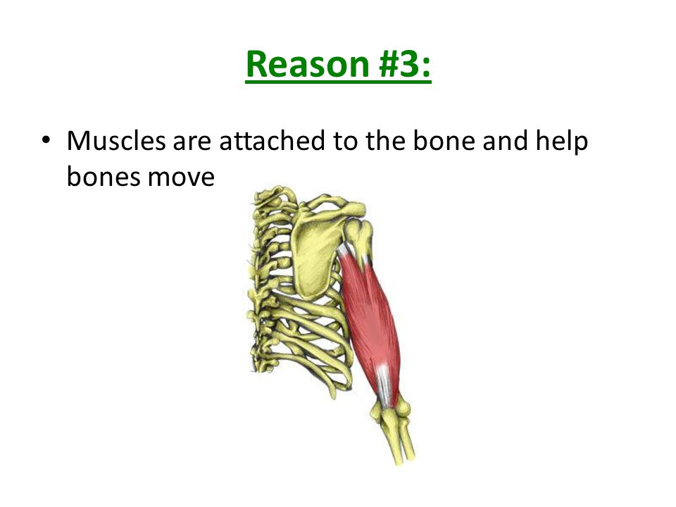 Reason #4: Blood cells are formed in the center of many bones in soft tissue called RED MARROW