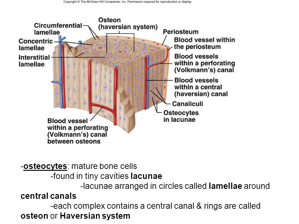 -osteocytes: mature bone cells -found in tiny cavities lacunae -lacunae arranged in circles called lamellae around central canals -each complex contai