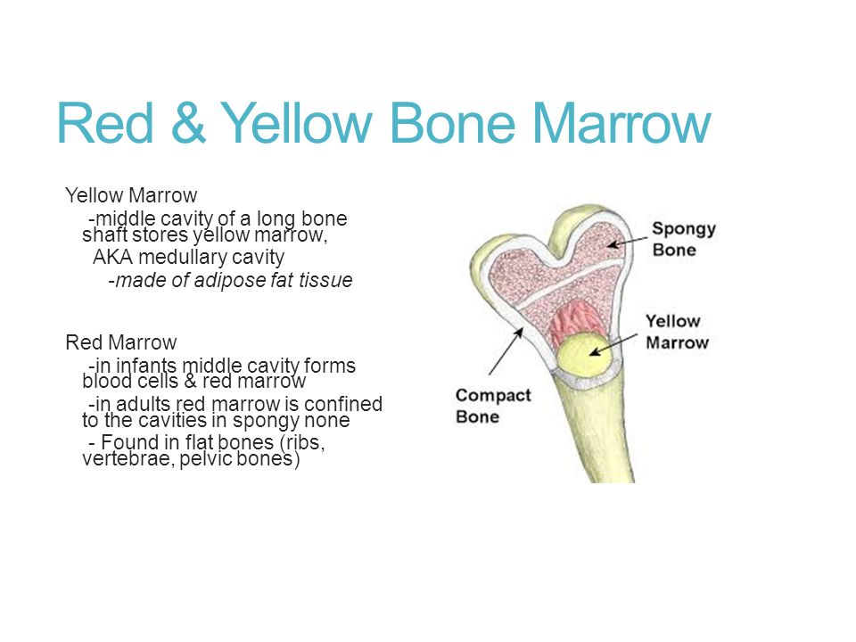 Red & Yellow Bone Marrow Yellow Marrow -middle cavity of a long bone shaft stores yellow marrow, AKA medullary cavity -made of adipose fat tissue Red