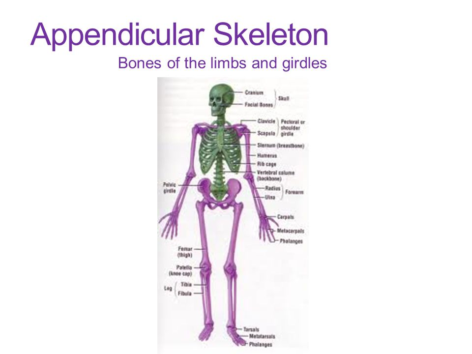 Appendicular Skeleton Bones of the limbs and girdles