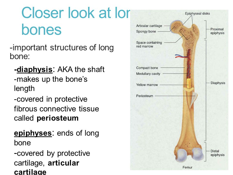 Closer look at long bones -important structures of long bone: -diaphysis : AKA the shaft -makes up the bone's length -covered in protective fibrous co