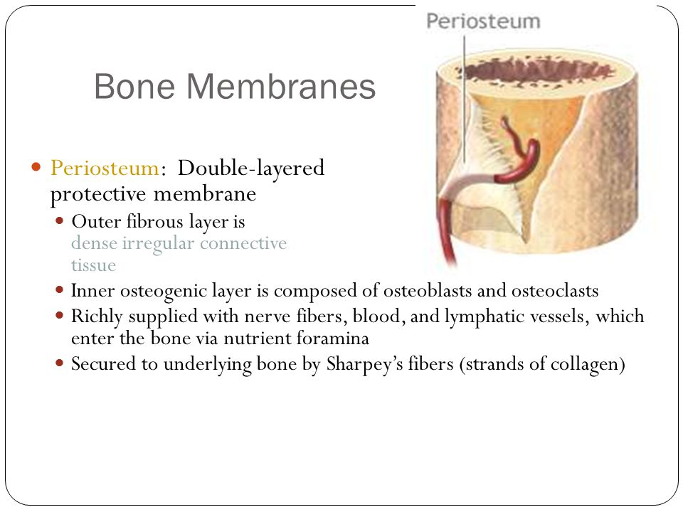 Bone Membranes 13 Periosteum: Double-layered protective membrane Outer fibrous layer is dense irregular connective tissue Inner osteogenic layer is composed of osteoblasts and osteoclasts Richly supplied with nerve fibers, blood, and lymphatic vessels, which enter the bone via nutrient foramina Secured to underlying bone by Sharpey's fibers (strands of collagen)