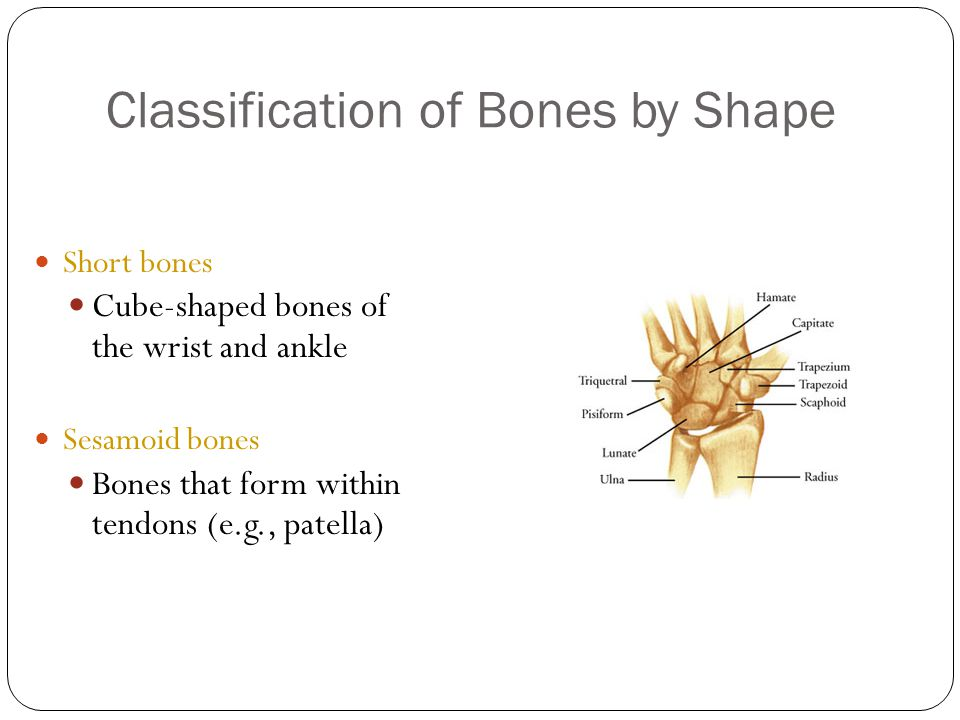 Classification of Bones by Shape 15 Short bones Cube-shaped bones of the wrist and ankle Sesamoid bones Bones that form within tendons (e.g., patella)