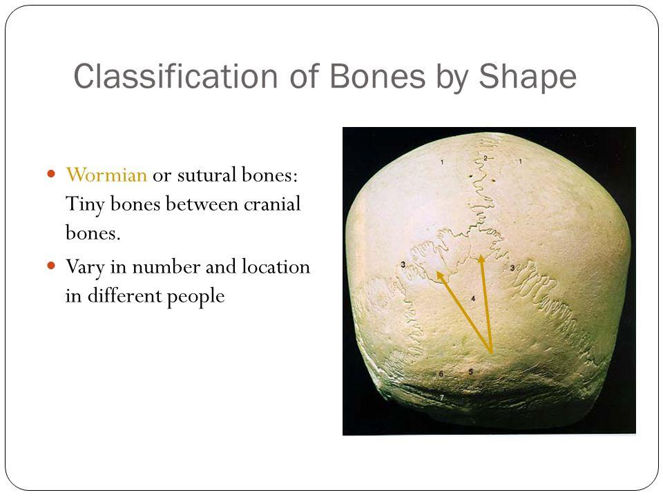 Classification of Bones by Shape 18 Wormian or sutural bones: Tiny bones between cranial bones.