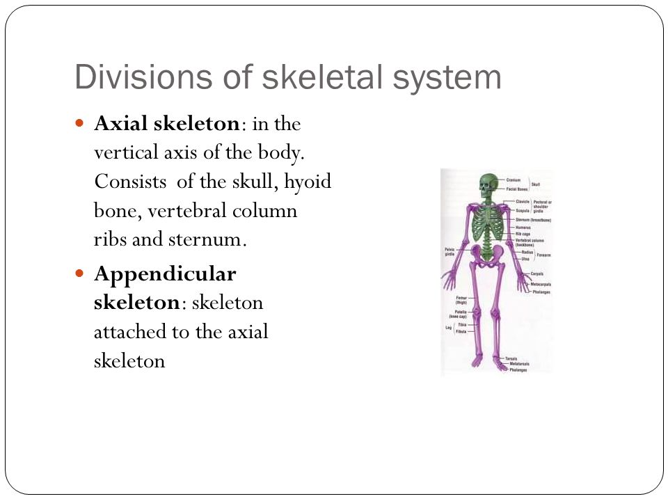 Divisions of skeletal system Axial skeleton: in the vertical axis of the body.