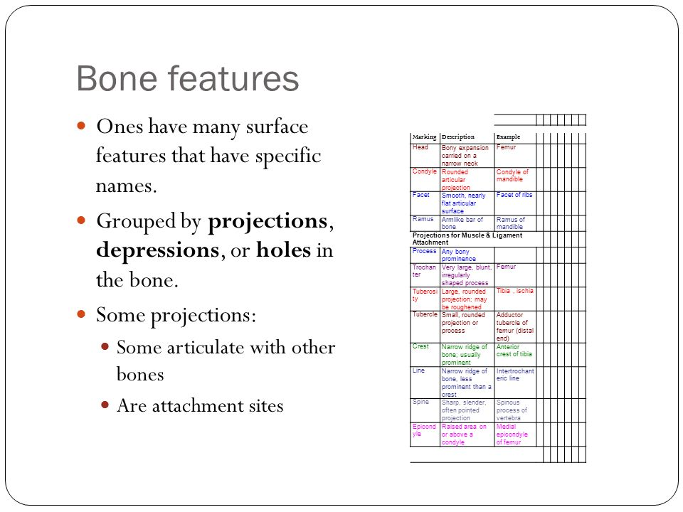 Bone features Ones have many surface features that have specific names.
