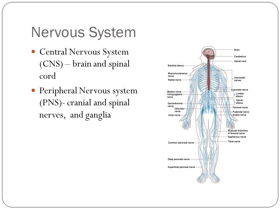 Nervous System Central Nervous System (CNS) – brain and spinal cord Peripheral Nervous system (PNS)- cranial and spinal nerves, and ganglia