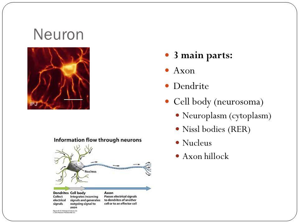 Neuron 3 main parts: Axon Dendrite Cell body (neurosoma) Neuroplasm (cytoplasm) Nissl bodies (RER) Nucleus Axon hillock