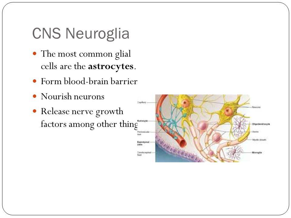 CNS Neuroglia The most common glial cells are the astrocytes.