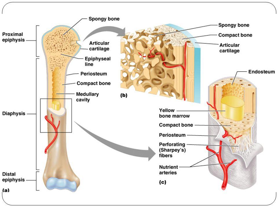 Bone Marrow 9 Marrow Netlike mass of connective tissue that fills the spaces of bone Medullary cavities of long bones Irregular spaces of spongy bone