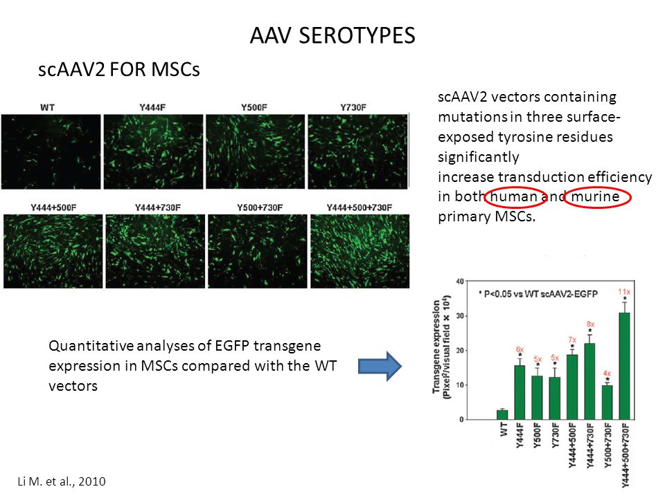 scAAV2 FOR MSCs AAV SEROTYPES scAAV2 vectors containing mutations in three surface- exposed tyrosine residues significantly increase transduction effi