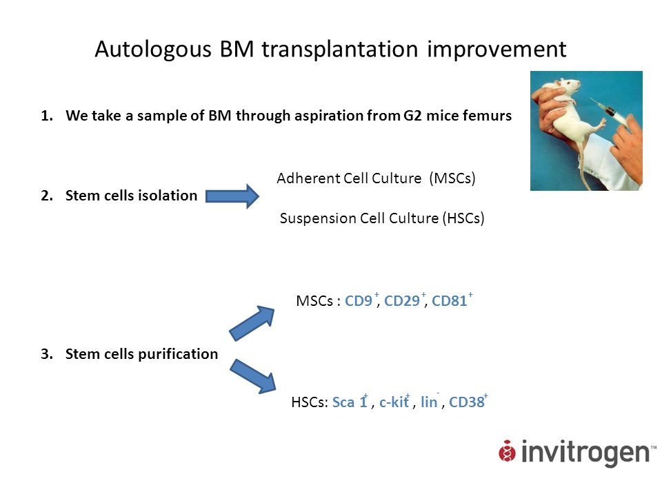 Autologous BM transplantation improvement 1.We take a sample of BM through aspiration from G2 mice femurs 2.Stem cells isolation 3.Stem cells purifica