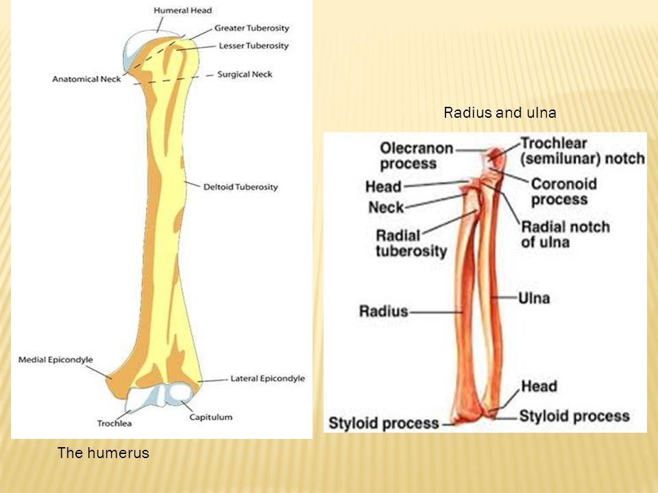 The humerus Radius and ulna