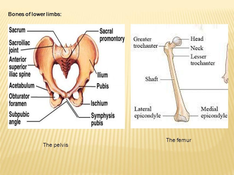 Bones of lower limbs: The pelvis The femur