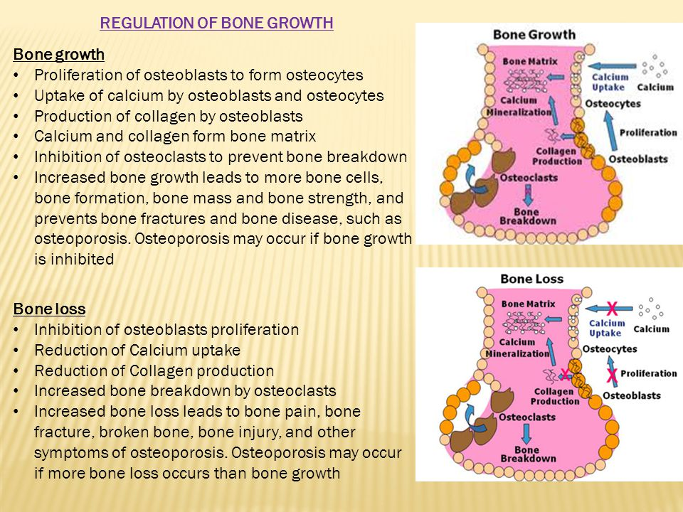 Bone growth Proliferation of osteoblasts to form osteocytes Uptake of calcium by osteoblasts and osteocytes Production of collagen by osteoblasts Calcium and collagen form bone matrix Inhibition of osteoclasts to prevent bone breakdown Increased bone growth leads to more bone cells, bone formation, bone mass and bone strength, and prevents bone fractures and bone disease, such as osteoporosis.