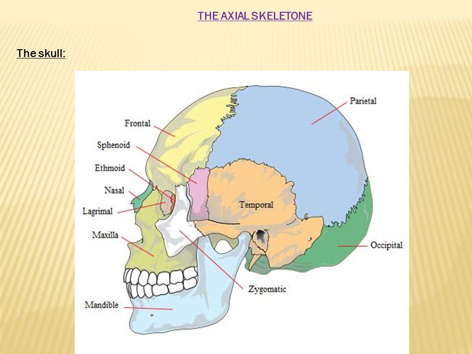 The vertebral column: