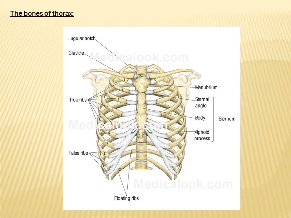 The bones of thorax: