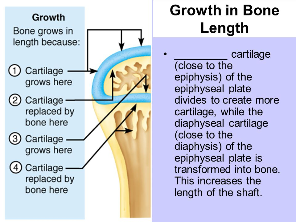 Growth in Bone Length _________ cartilage (close to the epiphysis) of the epiphyseal plate divides to create more cartilage, while the diaphyseal cart