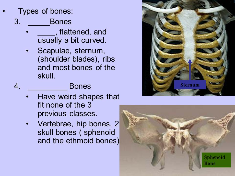 Types of bones: 3._____Bones ____, flattened, and usually a bit curved. Scapulae, sternum, (shoulder blades), ribs and most bones of the skull. 4.____