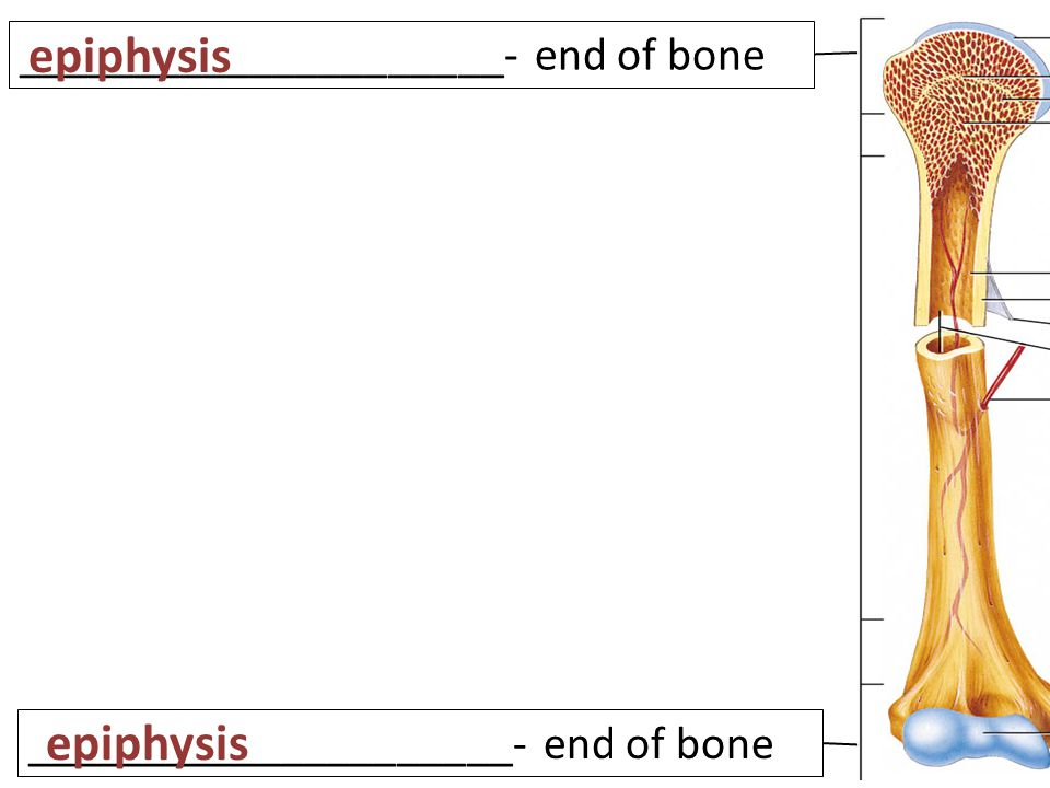 _____________________- end of bone epiphysis _____________________- end of bone epiphysis
