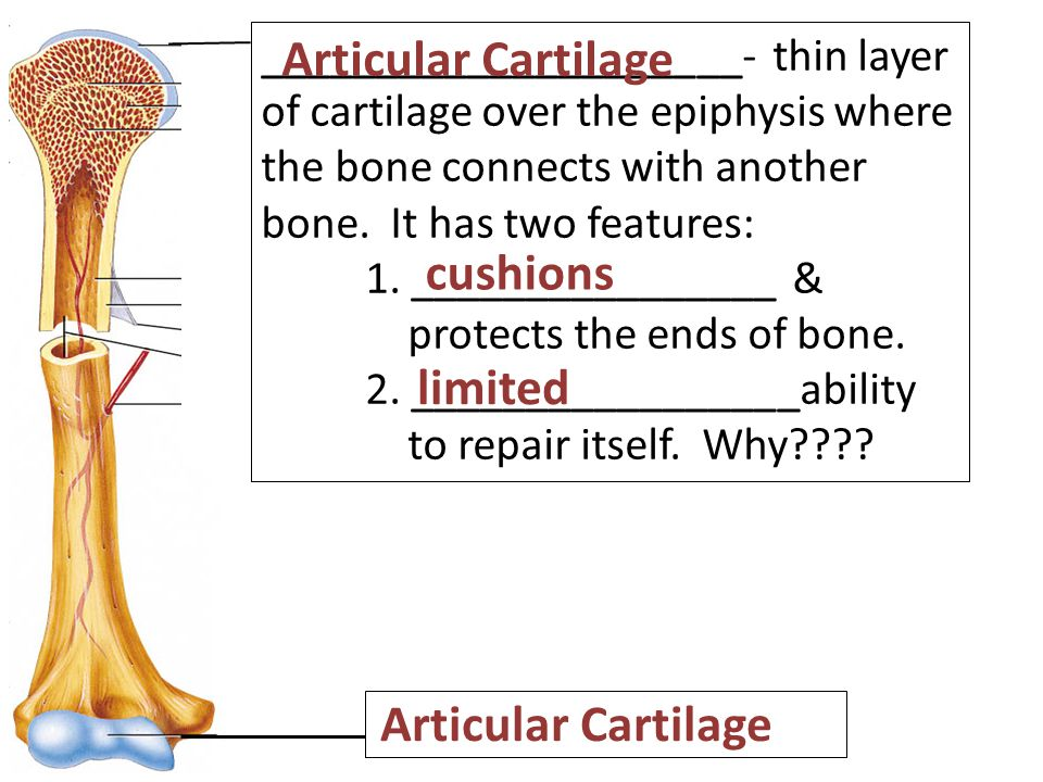 _____________________- thin layer of cartilage over the epiphysis where the bone connects with another bone.