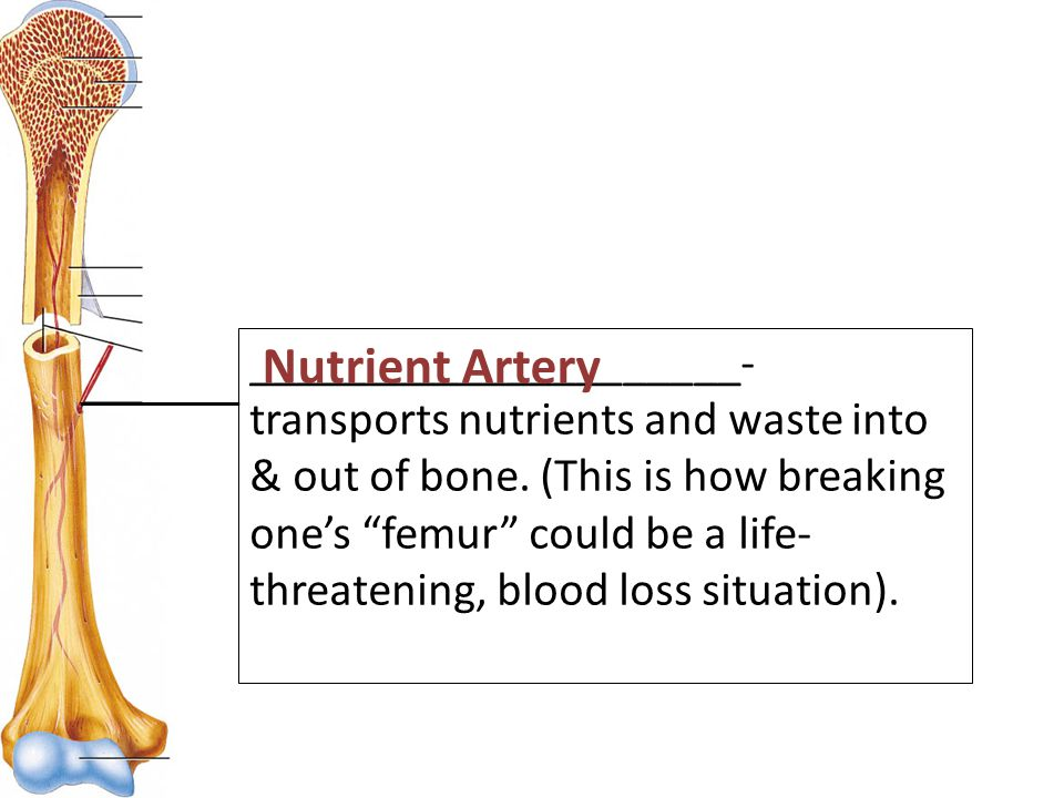 _____________________- transports nutrients and waste into & out of bone.