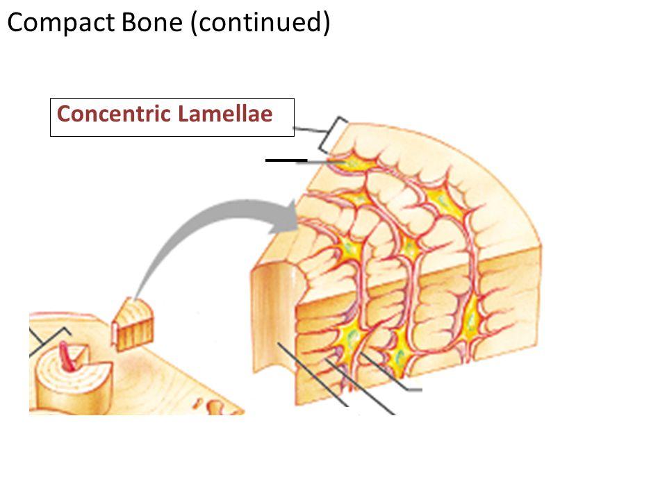 Concentric Lamellae Compact Bone (continued)