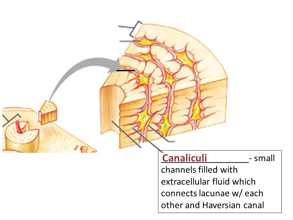 __________________- small channels filled with extracellular fluid which connects lacunae w/ each other and Haversian canal Canaliculi