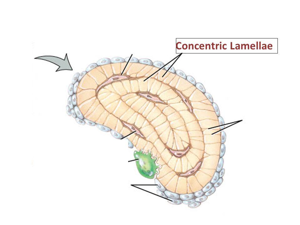 Concentric Lamellae