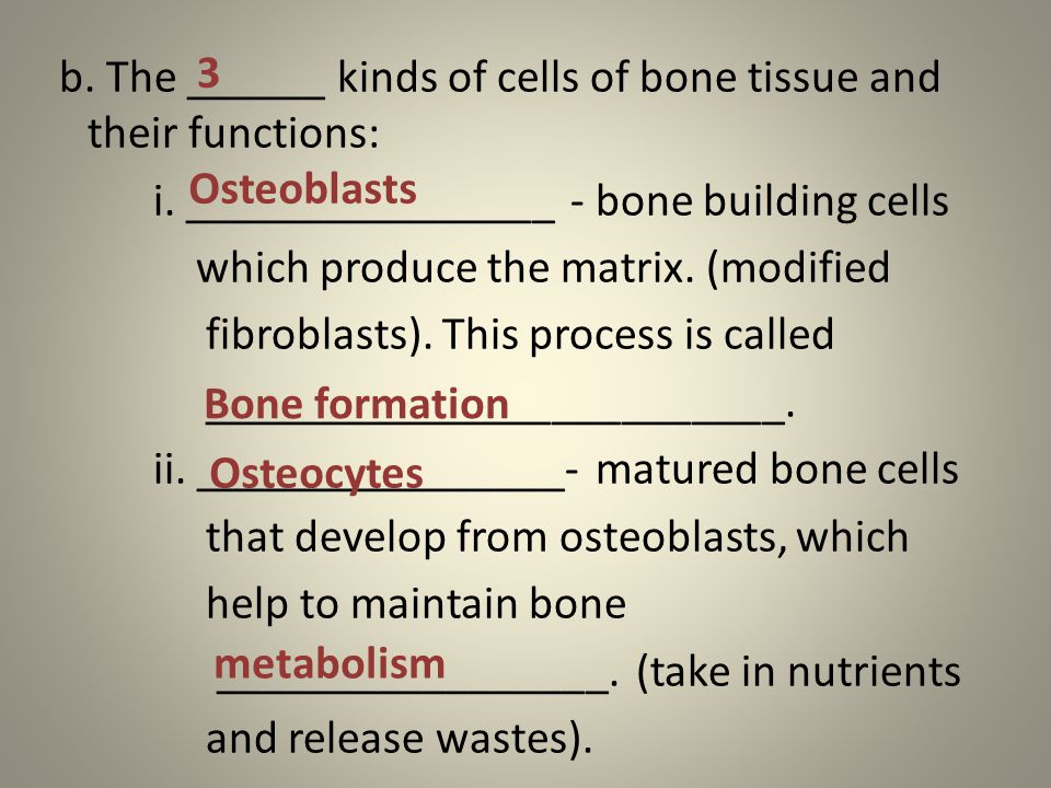 b. The ______ kinds of cells of bone tissue and their functions: i.