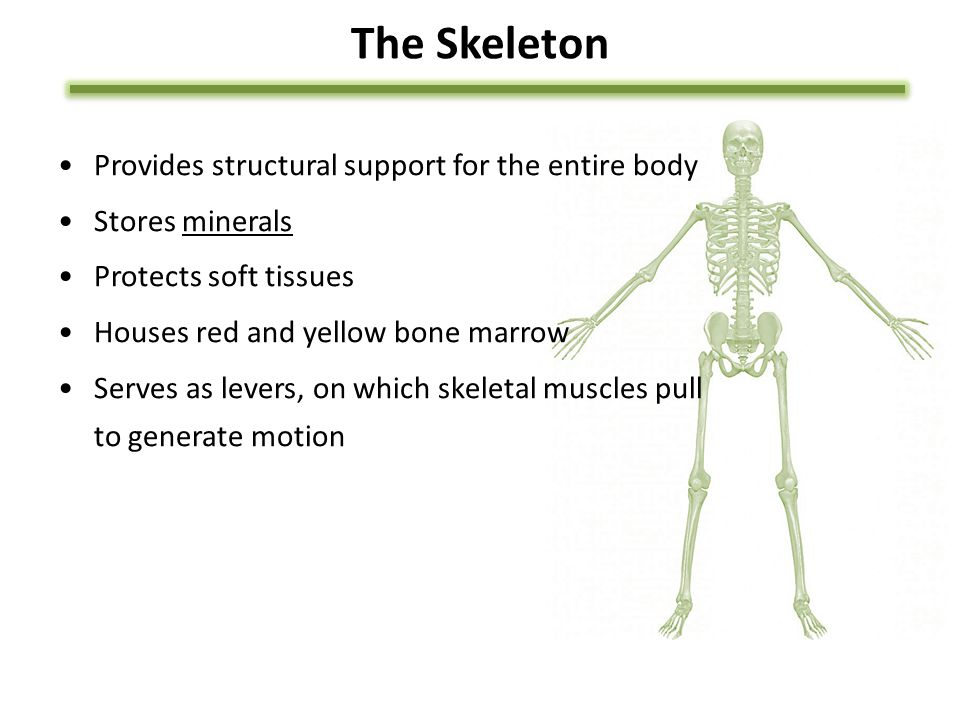 The Skeleton Provides structural support for the entire body Stores minerals Protects soft tissues Houses red and yellow bone marrow Serves as levers, on which skeletal muscles pull to generate motion