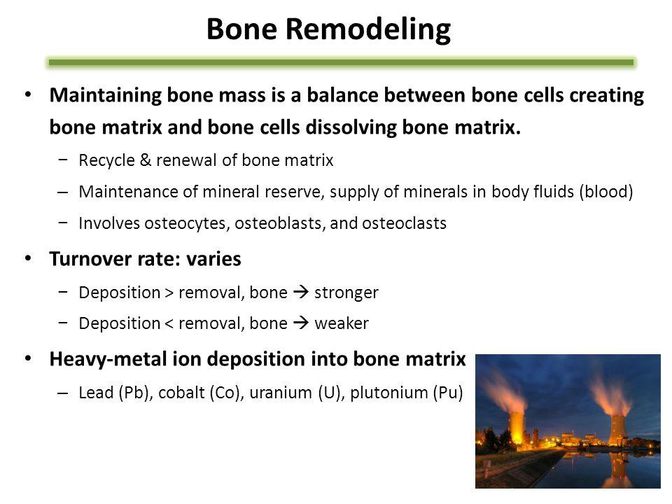 Bone Remodeling Maintaining bone mass is a balance between bone cells creating bone matrix and bone cells dissolving bone matrix.