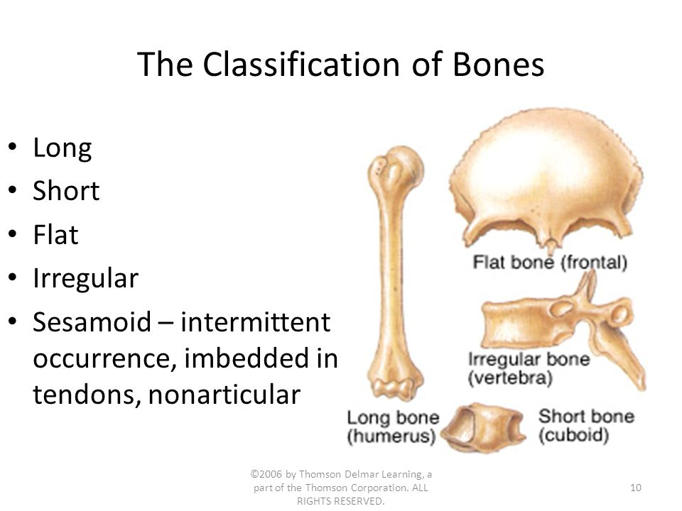 ©2006 by Thomson Delmar Learning, a part of the Thomson Corporation. ALL RIGHTS RESERVED. 10 The Classification of Bones Long Short Flat Irregular Ses