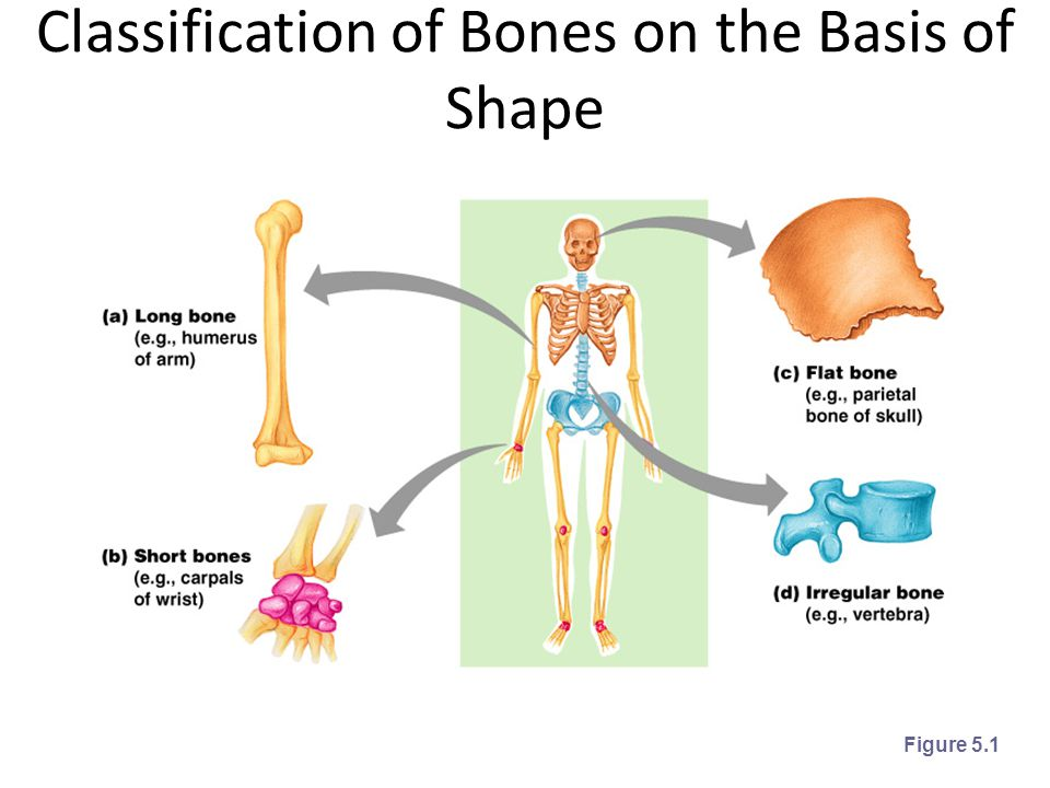 Classification of Bones on the Basis of Shape Figure 5.1