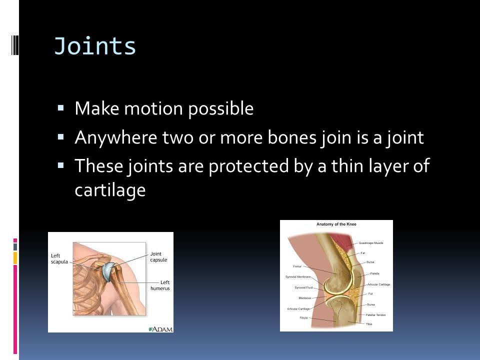 Joints  Make motion possible  Anywhere two or more bones join is a joint  These joints are protected by a thin layer of cartilage