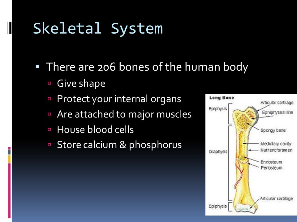 Osteoclasts  They help to break down the bone  The break down calcium and phosphorus into the bloodstream  These elements are necessary to keep your body working properly – including the moving of your muscles