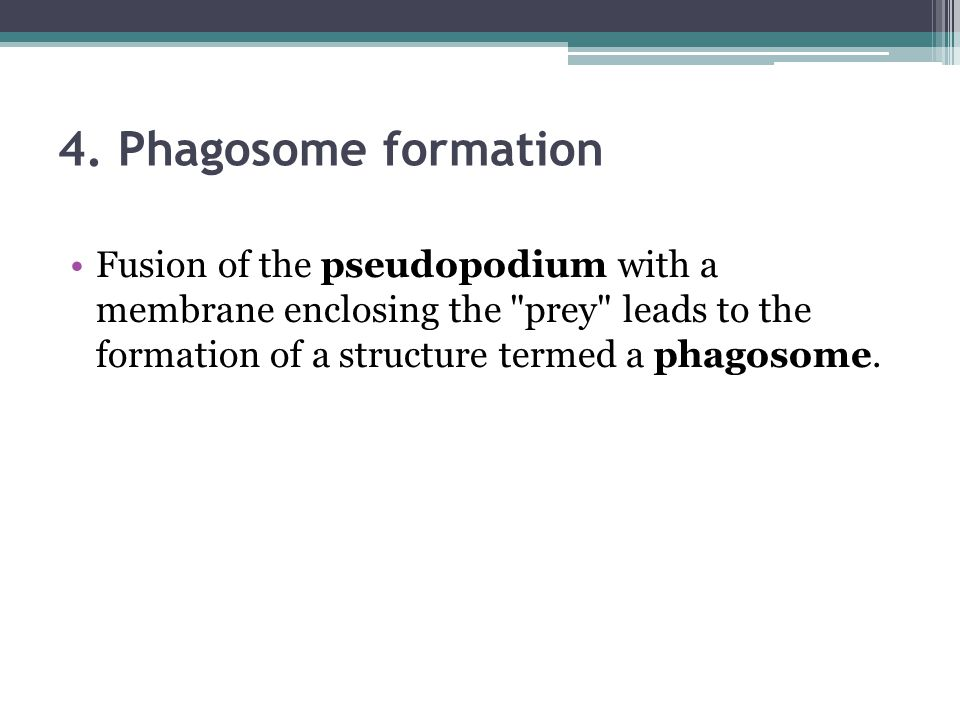 4. Phagosome formation Fusion of the pseudopodium with a membrane enclosing the